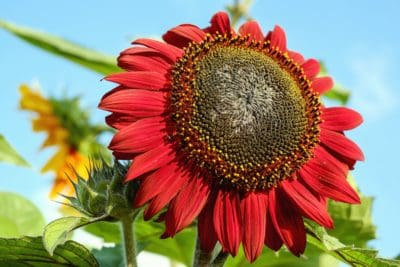 naturaleza, hoja, flora, jardín, flor, verano, girasol, campo
