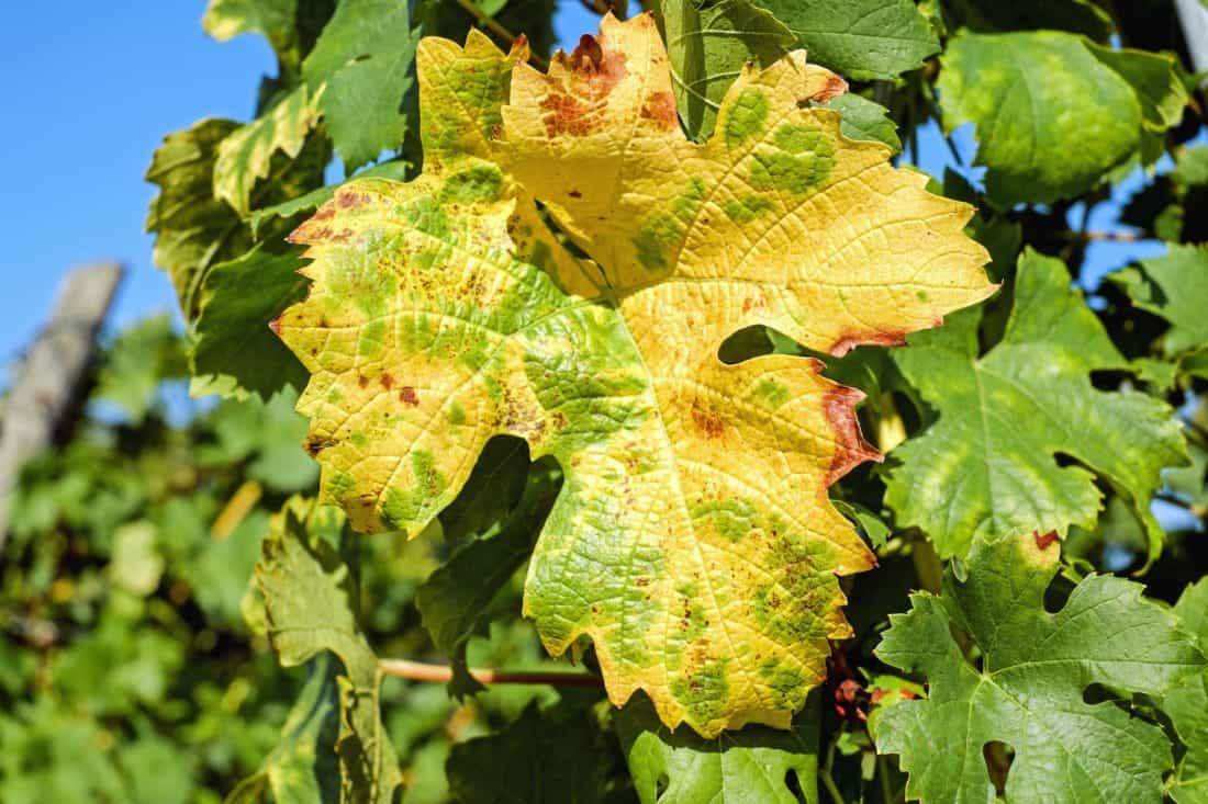 Селско стопанство, плодове, флора, дърво, листа, природа, грозде, лозе, листа