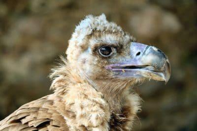 Buitre, Buitre, naturaleza, retrato, animales, fauna, pájaro, pico, depredador