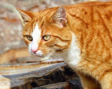 kotě, oči, srst, kočka, portrét, pet, zvíře, roztomilý, kočičí