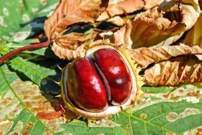 lá, thiên nhiên, trái cây, hạt, hạt dẻ