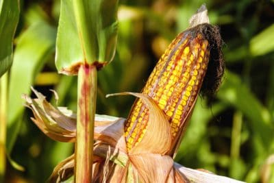 příroda, flora, kukuřice, bylina, rostlina, zemědělství, krajina