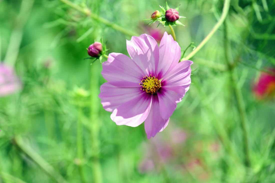 flora, garden, nature, wildflower, summer, grass, plant