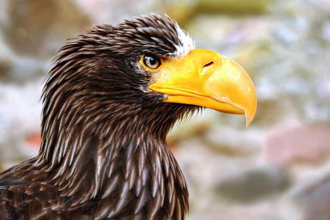 fauna, uccelli, natura, Aquila, becco, selvaggio, piuma, ornitologia