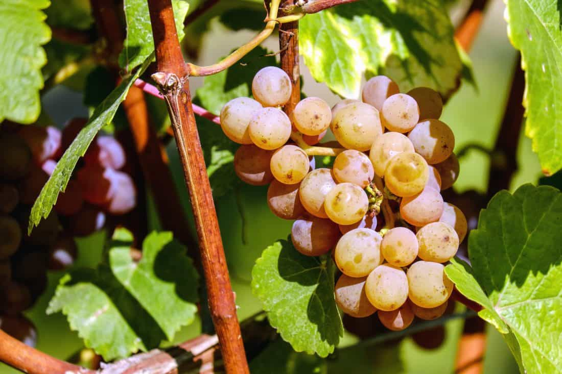 αμπελώνα, Γεωργίας, τροφίμων, φρούτα, σταφύλι, αγρόκτημα