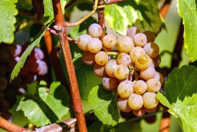 vignoble, agriculture, alimentaire, ferme de fruits, raisins,