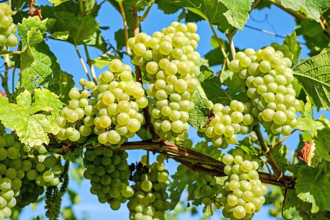 листа, храна, плодове, лозе, природа, земеделие