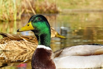 птици, птица, зеленоглава патица, дива природа, патица, водоплаващи, природа