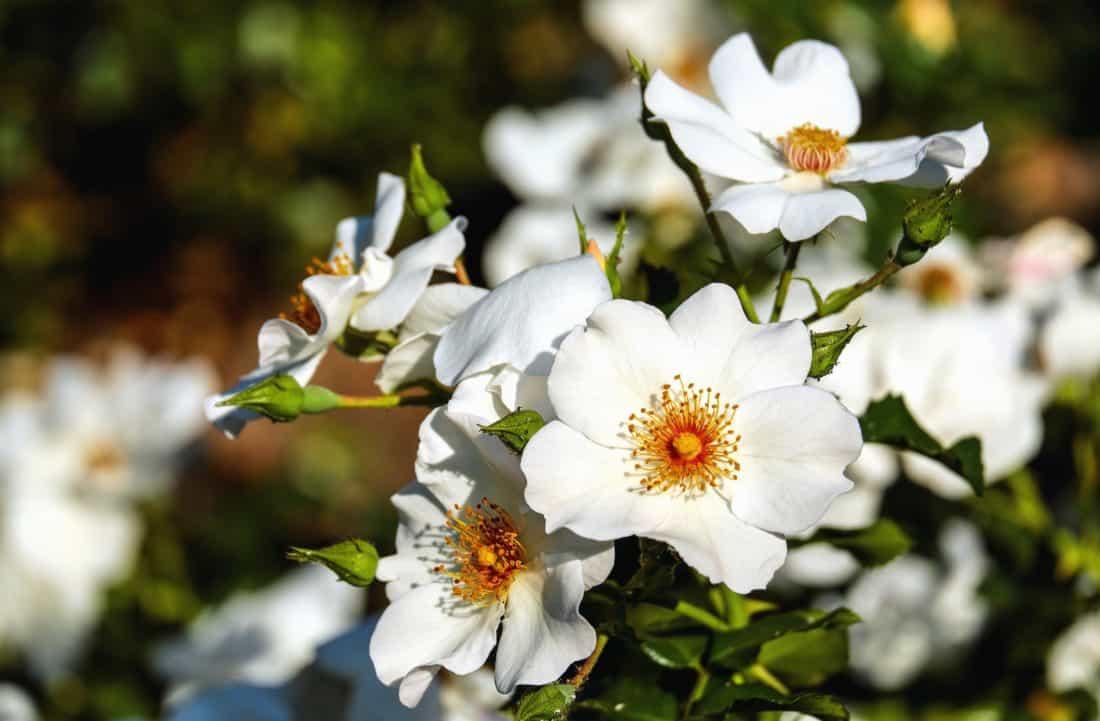 rosa salvaje, hoja, flor, jardín, naturaleza, flora, Pétalo, verano, polen