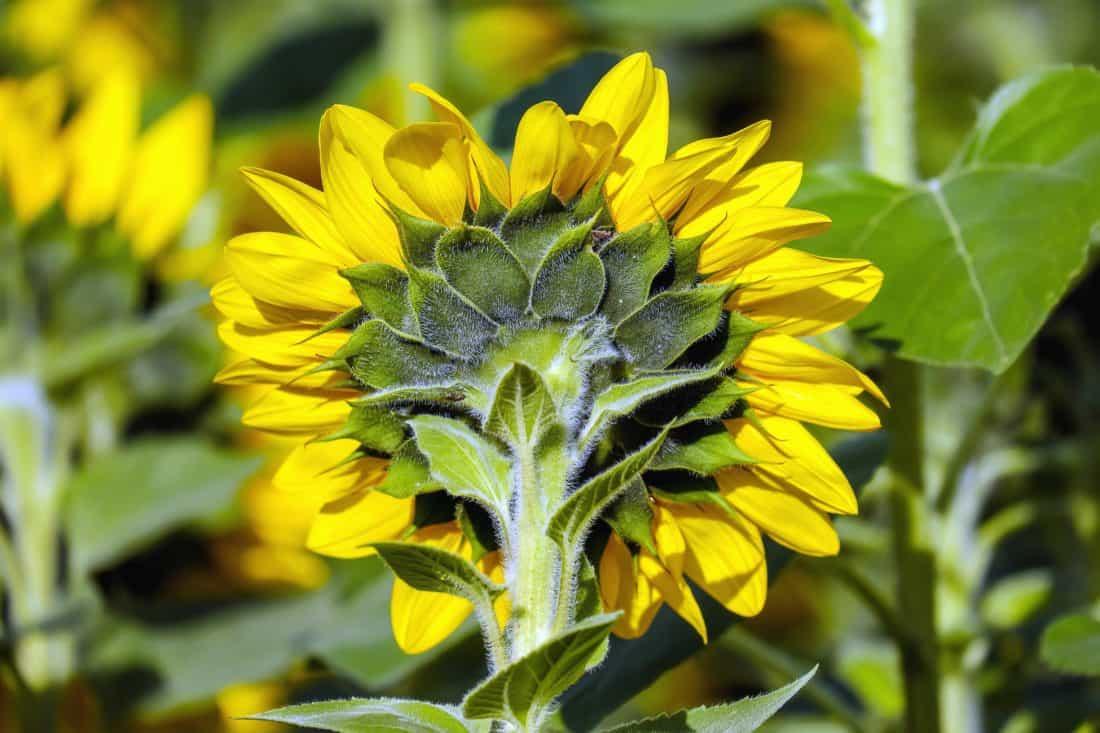verano, agricultura, naturaleza, campo, flor, flora, hoja, girasol