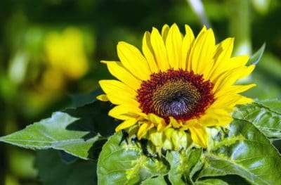 summer, nature, flower, leaf, flora, garden, sunflower, plant