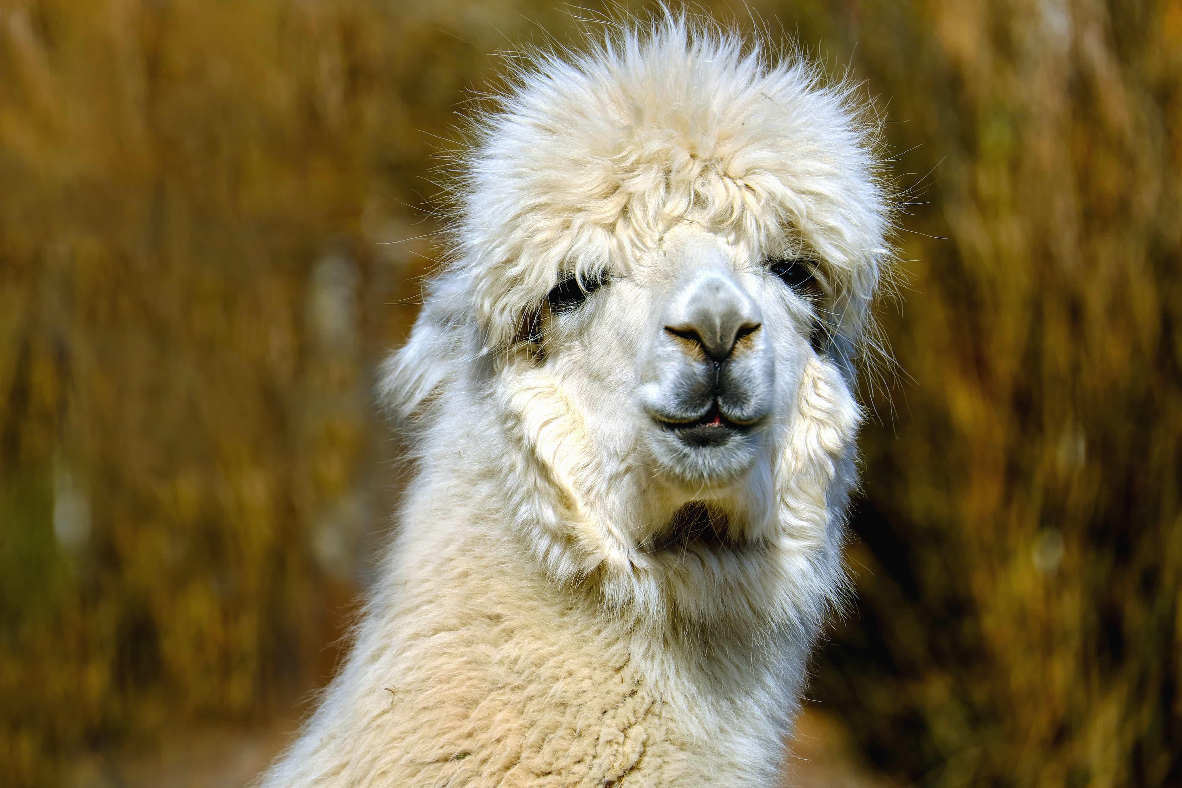 Free picture: alpaca, animal, fur, portrait, wildlife ...