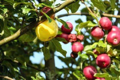 Baum, Essen, Obstgarten, Landwirtschaft, Obst, Zweig, Blatt, Natur, Apfel