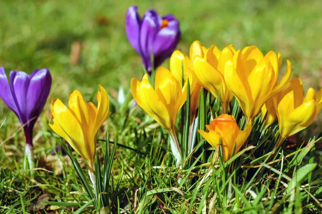 kostenlose bild krokus wiese blüte blatt flora blume