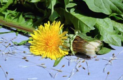 natura, foglia, flora, fiore, pianta, dente di Leone