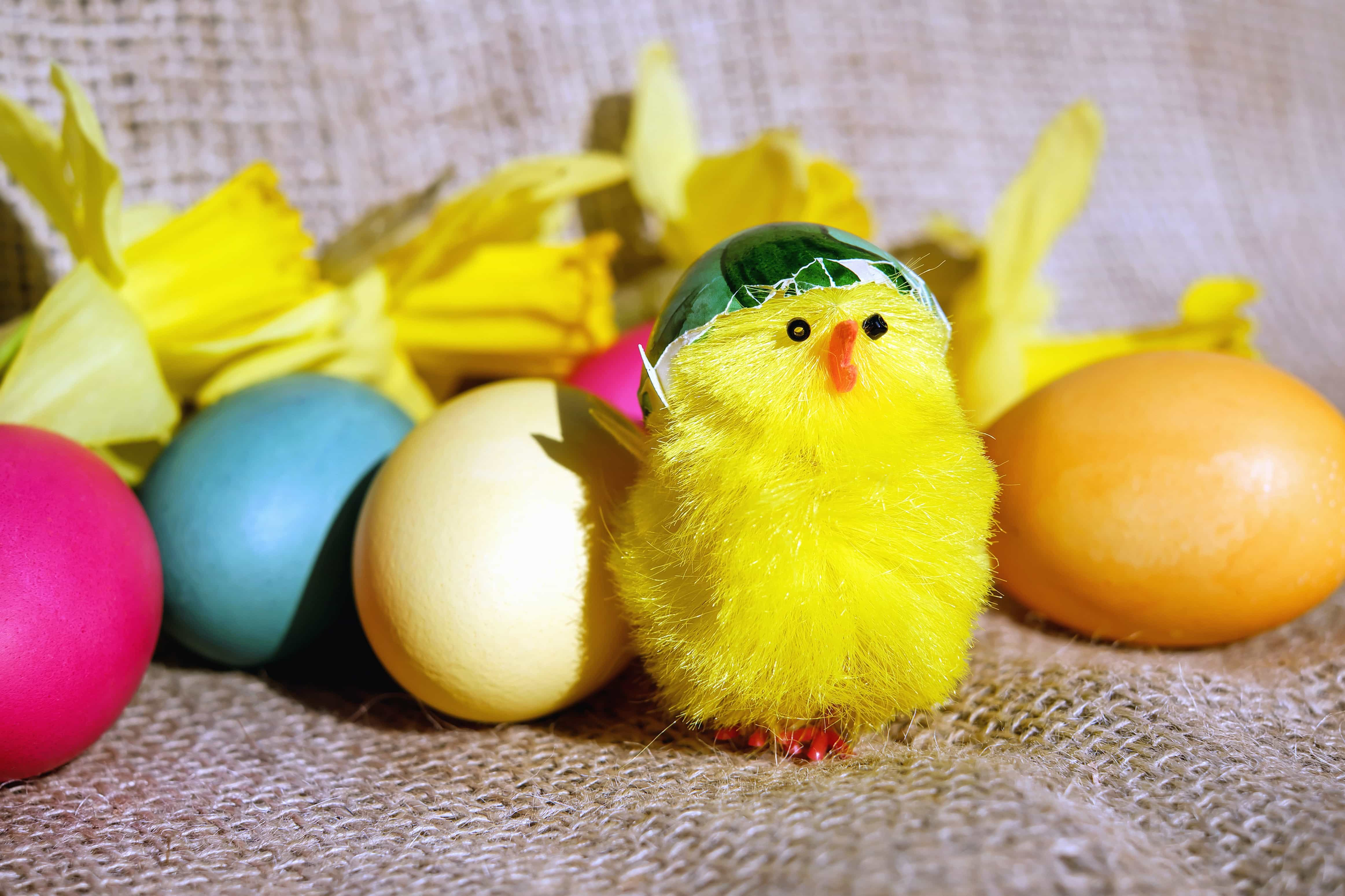Imagen gratis: pollo, huevo, color, decoración, Pascua