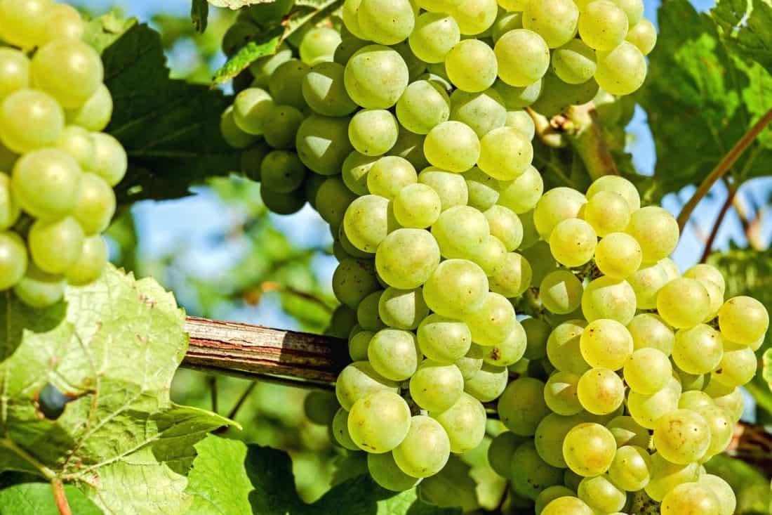 ovocia, hrozna, poľnohospodárstva, vinice, klastra, grapevine, vinohradníctvo