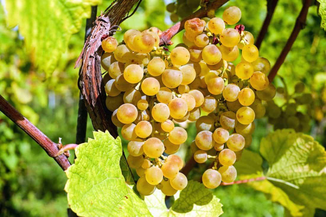 Селско стопанство, грозде, лято, листа, храна, флора, плодове, природа