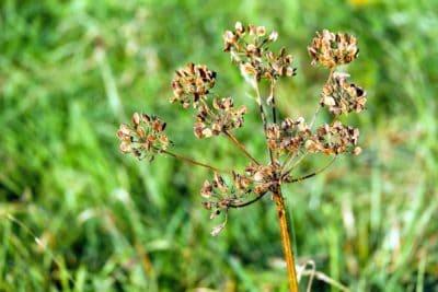 plant, flower, seed, stem, meadow, grass