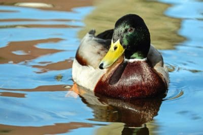 bird, waterfowl, duck, poultry, lake, water, reflection
