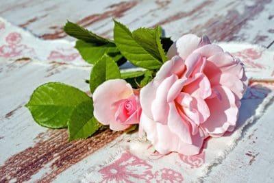 petalo di rosa, foglia, fiore, rosa, fiori, pianta