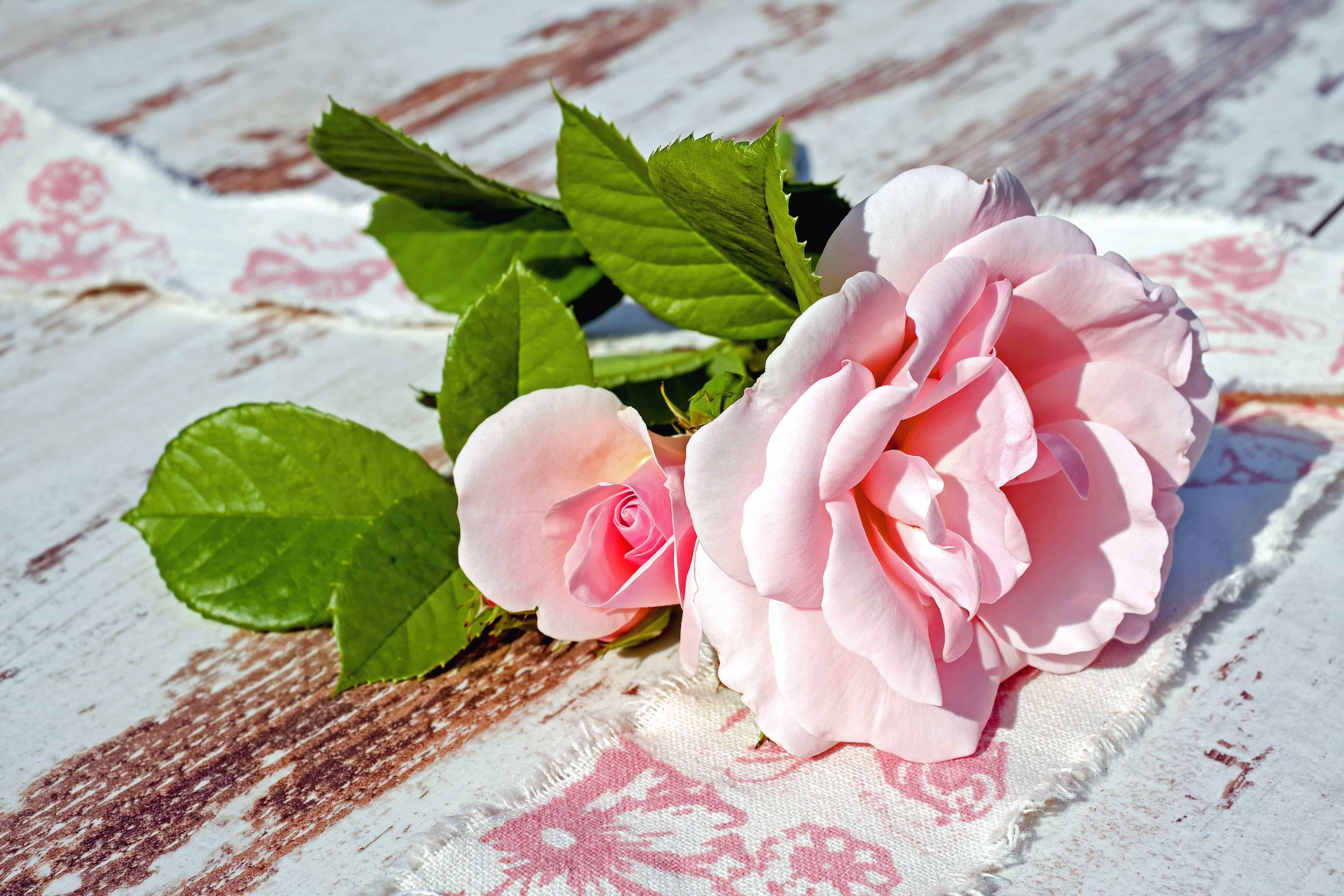 роза, лепестки, листья загрузить