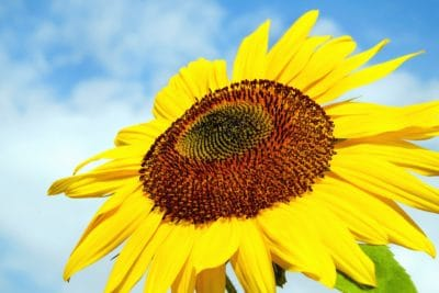 nature, summer, sunflower, flower, field, plant, petal, agriculture
