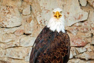 uccello, natura, Aquila, fauna selvatica, becco, predator, occhio, selvatico
