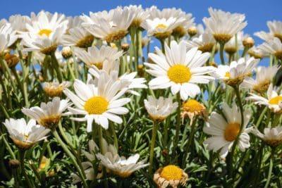 flora, summer, nature, flower, garden, daisy, plant, blossom