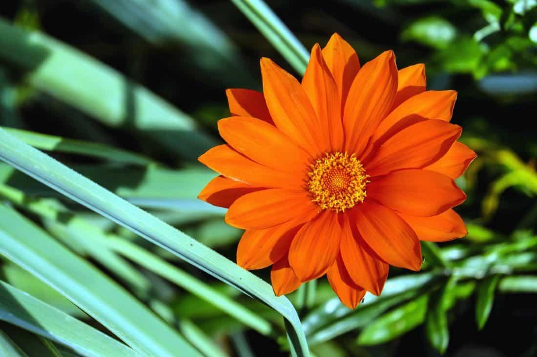 natur, sommer, blade, haven, flora, blomst, petal