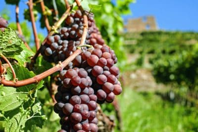 karakter, drue, landbrug, mad, frugt, vingård, grapevine
