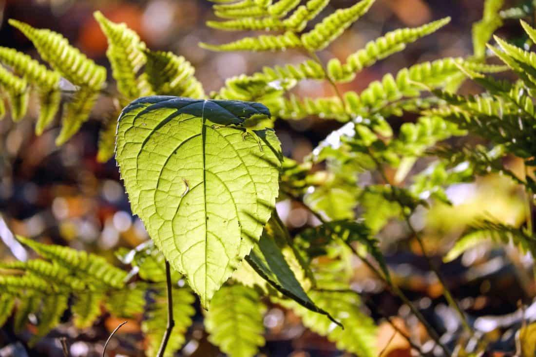 foglia, flora, ambiente, legno, giardino, natura, felce, foglie verdi