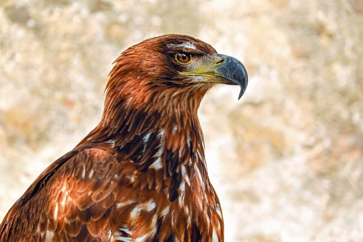 άγρια ζώα, φύση, πουλί, γεράκι, ράμφος, άγριο, φτερό