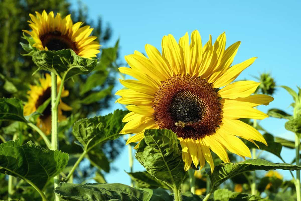 Sommer, Flora, Pollen, Sonnenblume, Blume, Natur, Blatt, Feld
