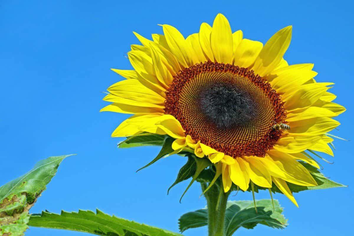 flora, natur, blad, sommer, blomst, solsikke, feltet, landbruk