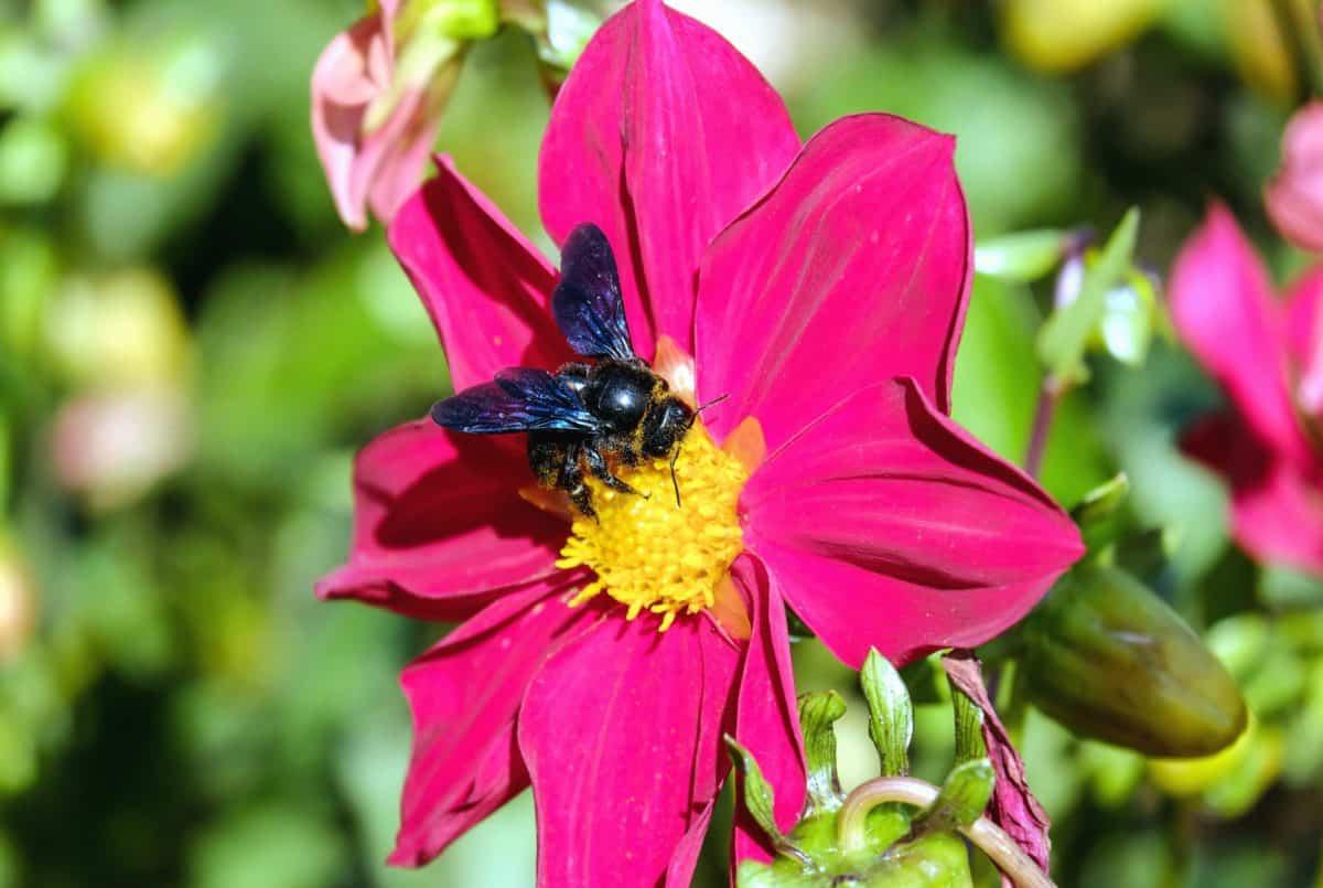 Biene, Sommer, Natur, Nektar, Makro, Blume, Blätter, Insekten, pollen