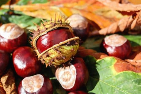 leaf, nature, food, chestnut, seed, autumn