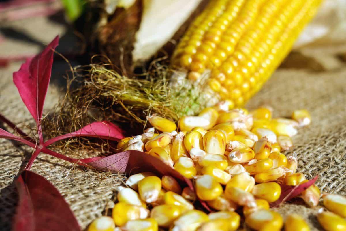 food, corn, kernel, seed, still life, vegetable, organic