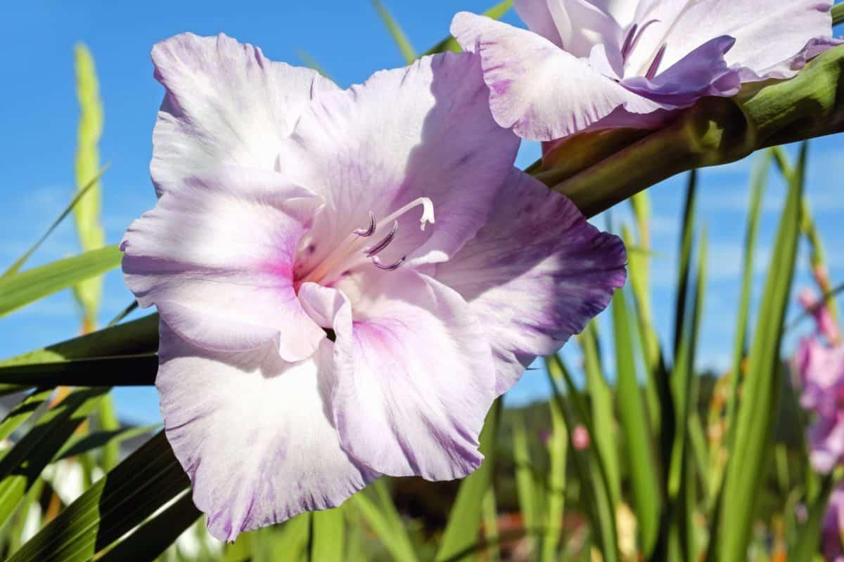 lily, flora, leaf, garden, summer, flower, nature, pink, plant