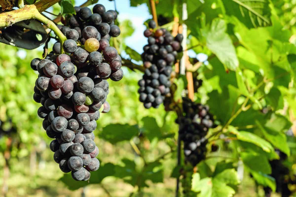fruit, grape, food, vineyard, nature, grapevine, leaf, agriculture