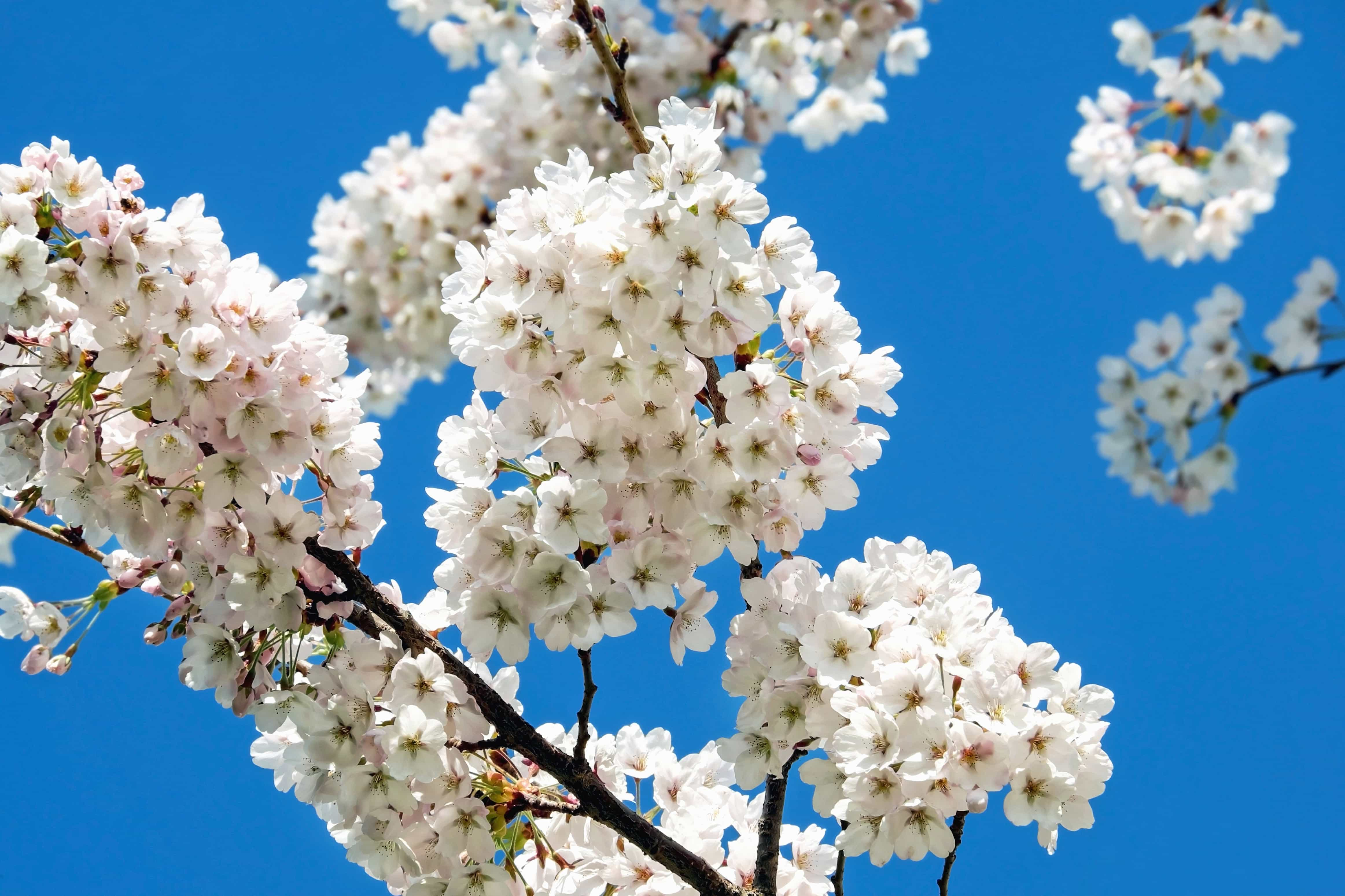 Free picture garden branch nature flower tree petal flora flower branch flora tree cherry tree petal nature izmirmasajfo Images