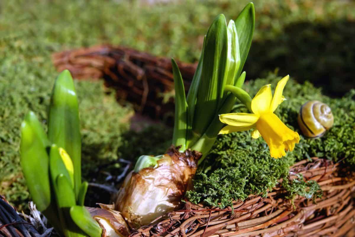 Narcis, cvijet, list, latica, vrt, priroda, flora