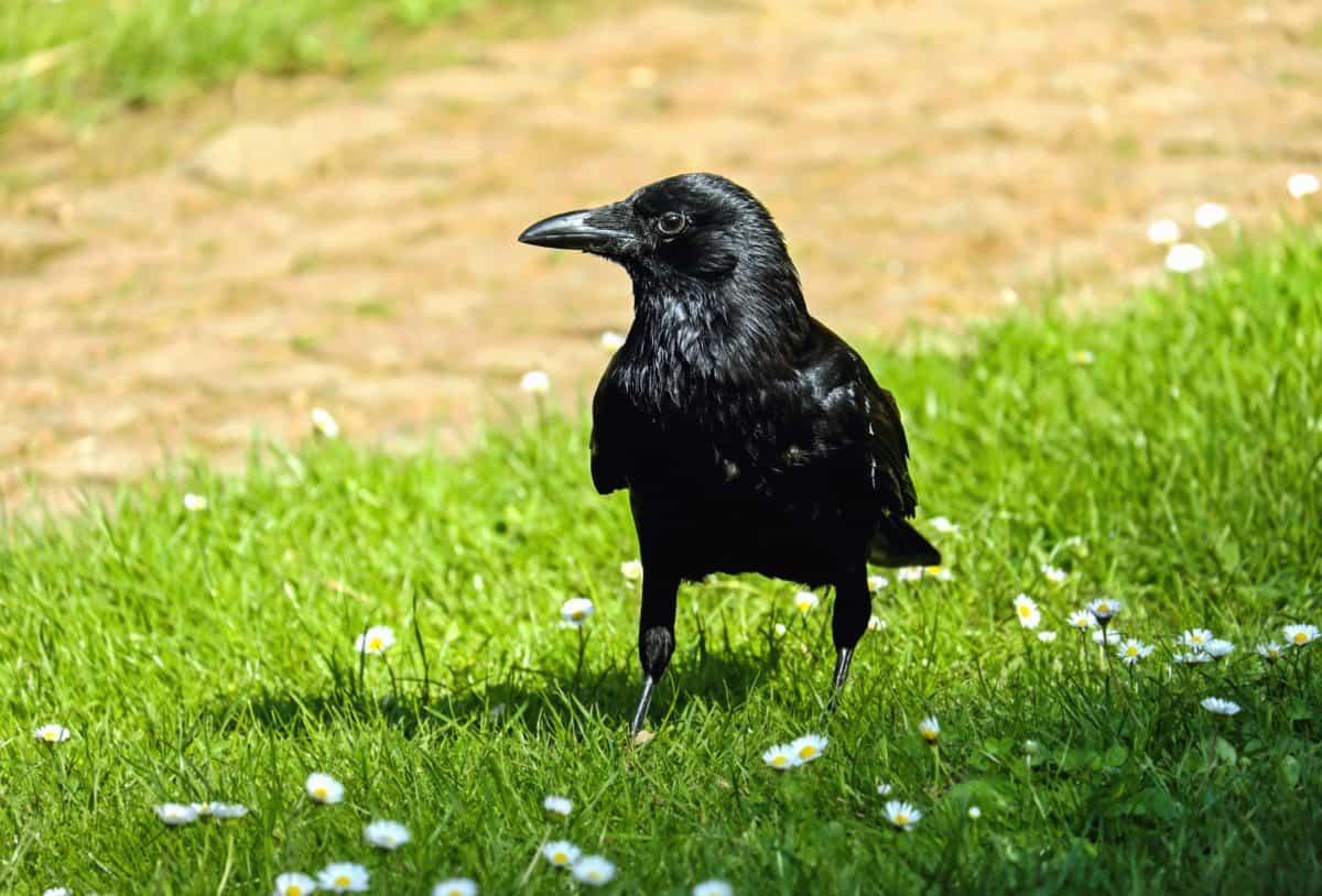 bird, grass, wildlife, crow, raven, nature, beak, wild, feather,Pitru Paksha hindi