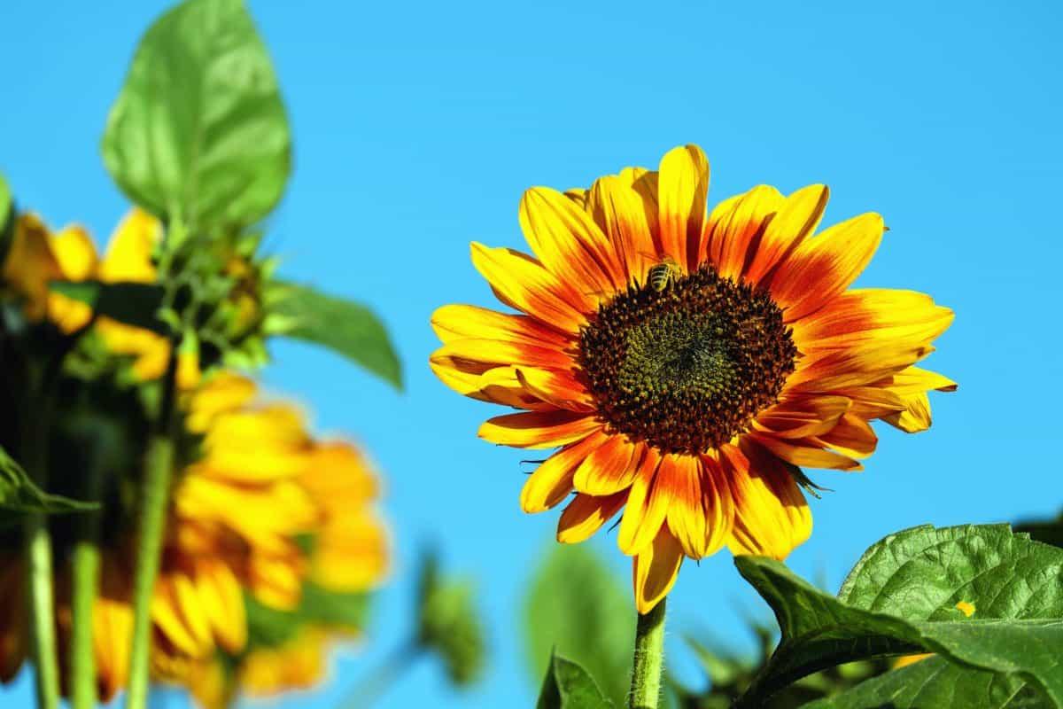 naturaleza, hoja, flora, verano, girasol, flor, campo, agricultura