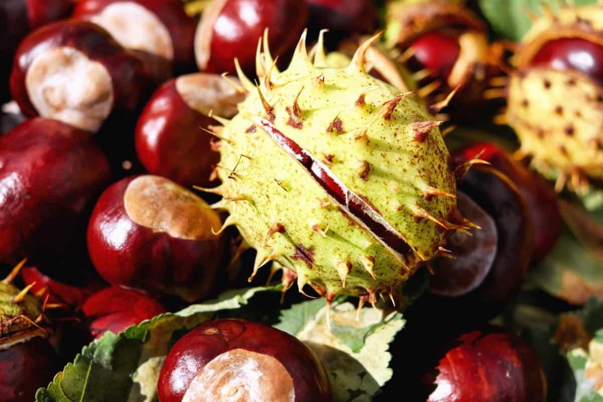 kastanye, daun, biji, shell, alam, musim gugur
