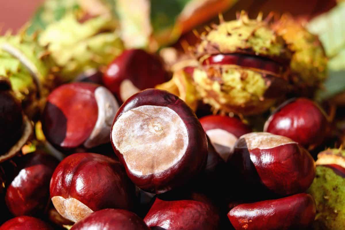 秋、木、種子、シェル、栗、自然
