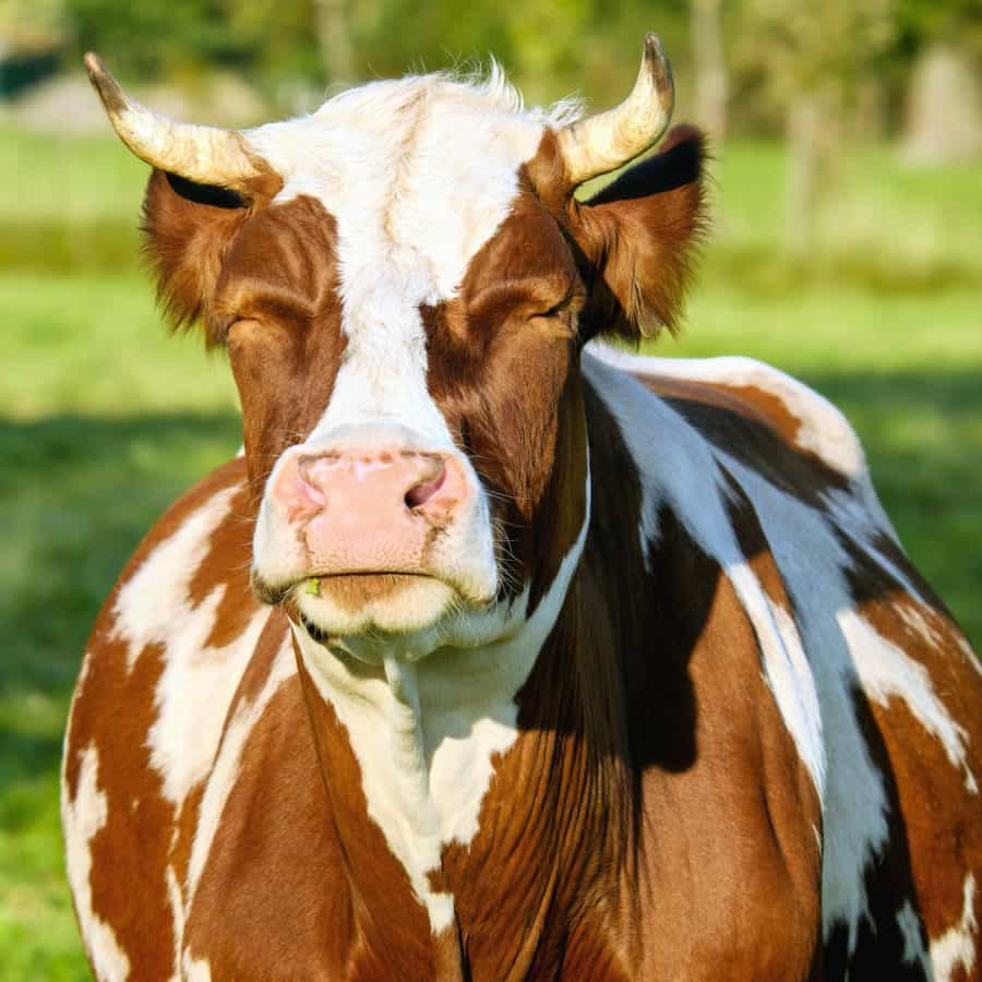 free picture farm animal cow ranch brown cattle