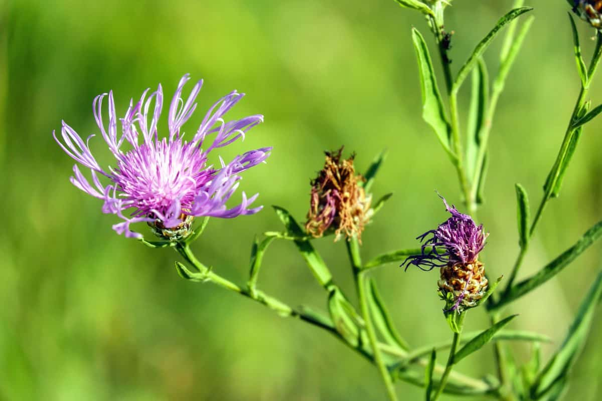 thistle, summer, garden, grass, nature, flower, flora, leaf, herb