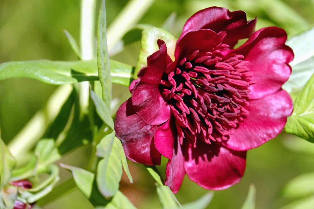 κόκκινη παιωνία, χλωρίδα, φύση, φύλλα, Κήπος, καλοκαίρι, παιωνία λουλούδι, φυτά