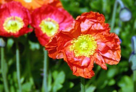 léto, flóra, příroda, červená, nektar, wildflower, zahradní, rostlina, květ